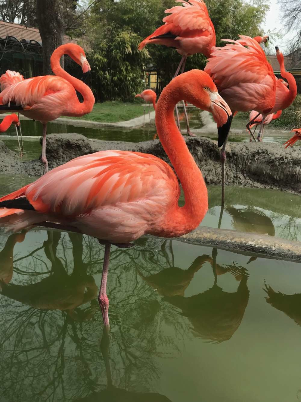 Flamingo's - Zoo Wenen
